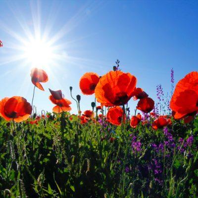 Mohnblumenwiese, Sonne, blauer Himmel